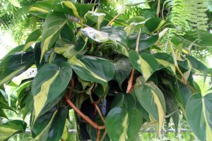 Augalas filodendras