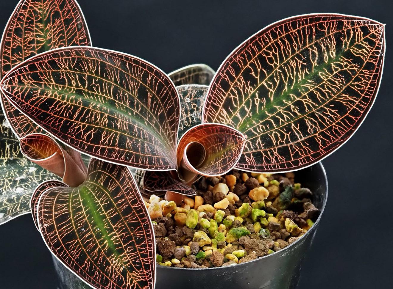Auksinė orchidėja (margalapė)