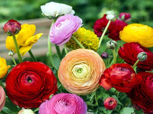 Gėlės nuotrauka. (Pavadinimas: Azijinis vėdrynas)