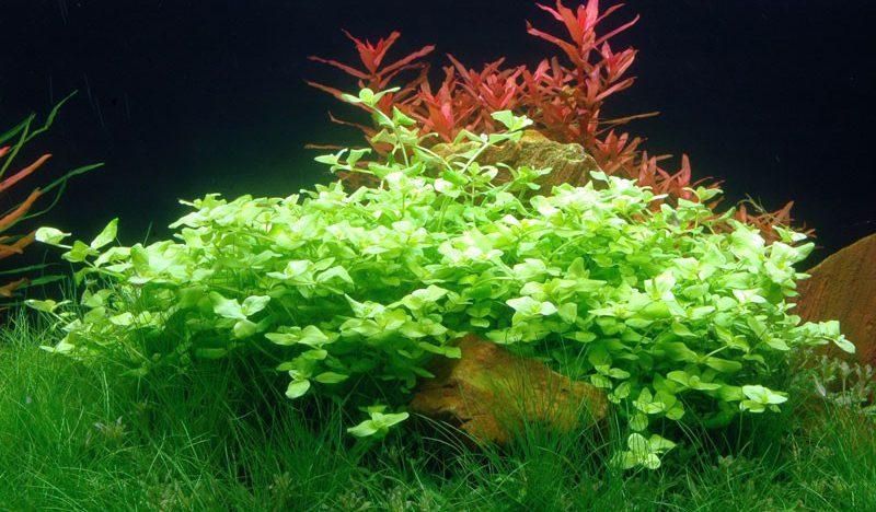 bacopa australis auginimas akvariume
