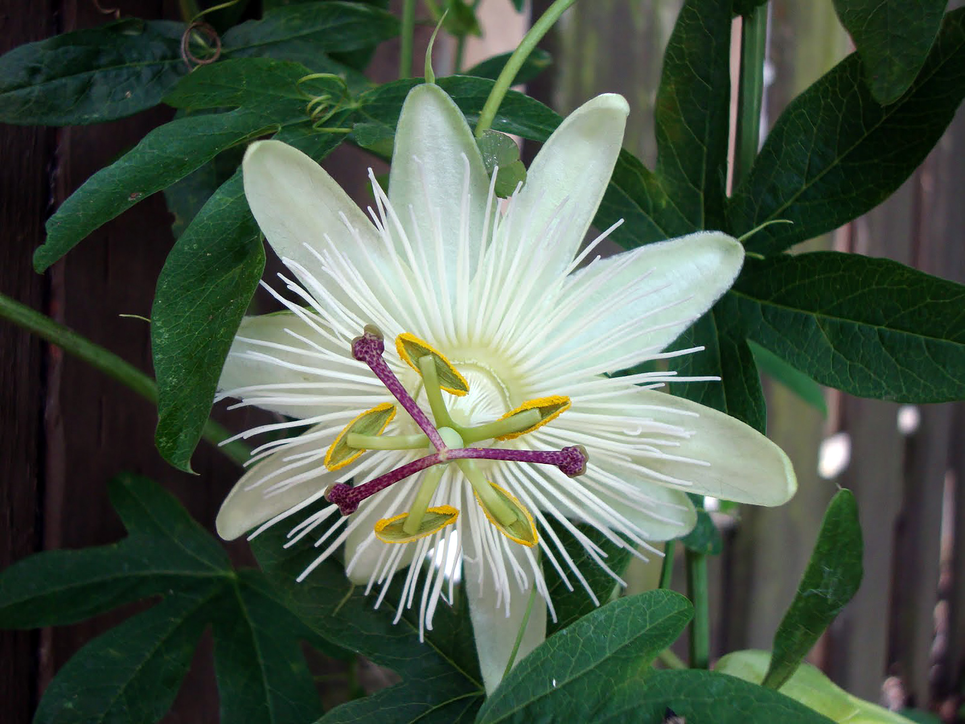 Balta gėlė pasiflora
