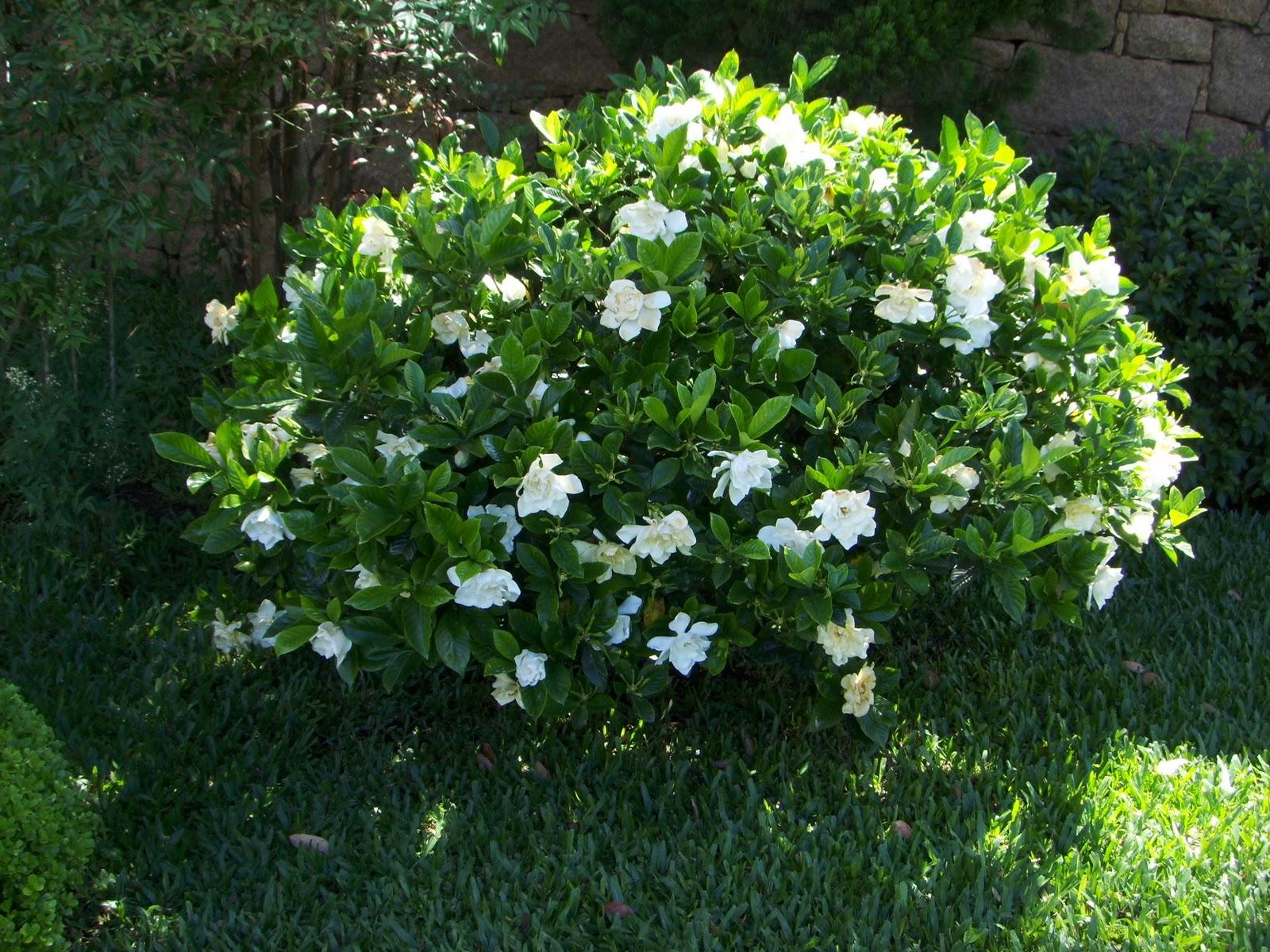 Baltai žydinti gardenija