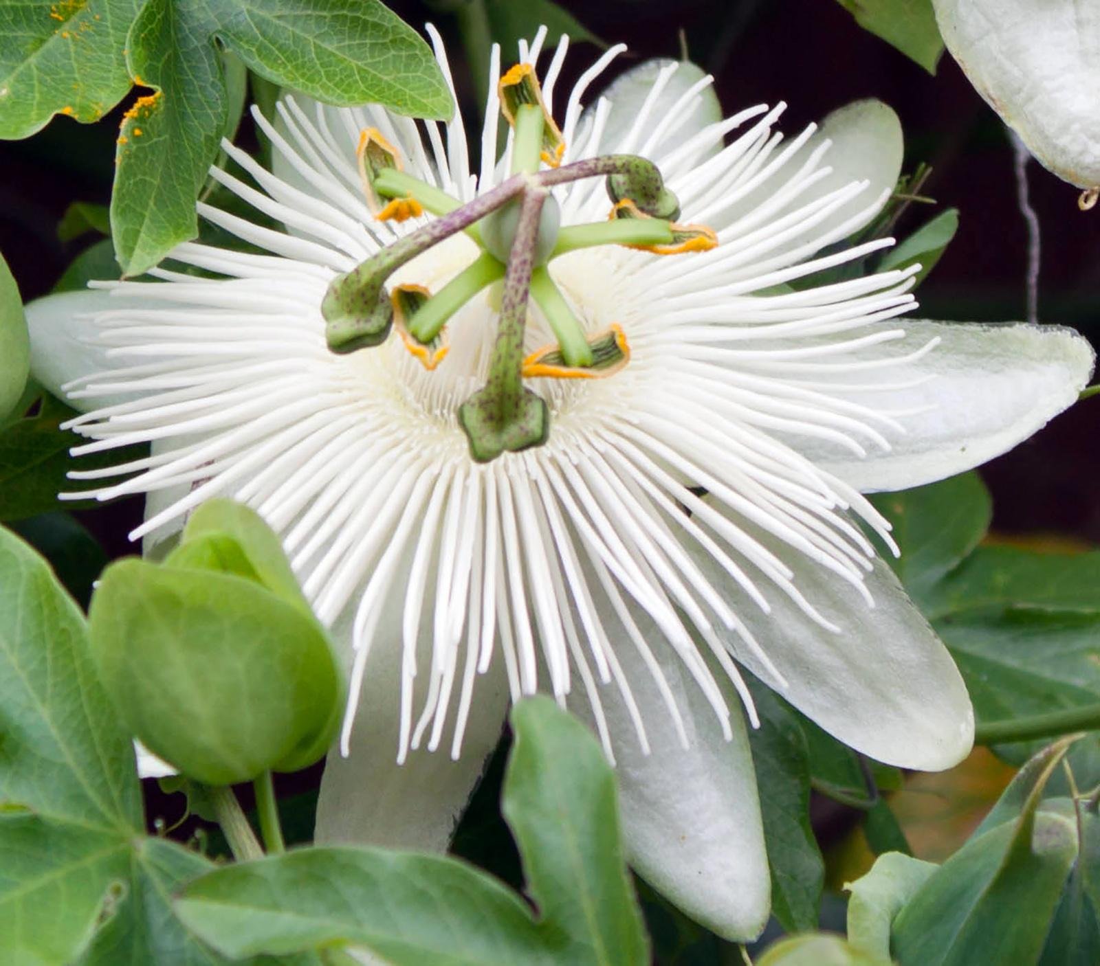 Vijoklinė gėlė pasiflora constance Eliott
