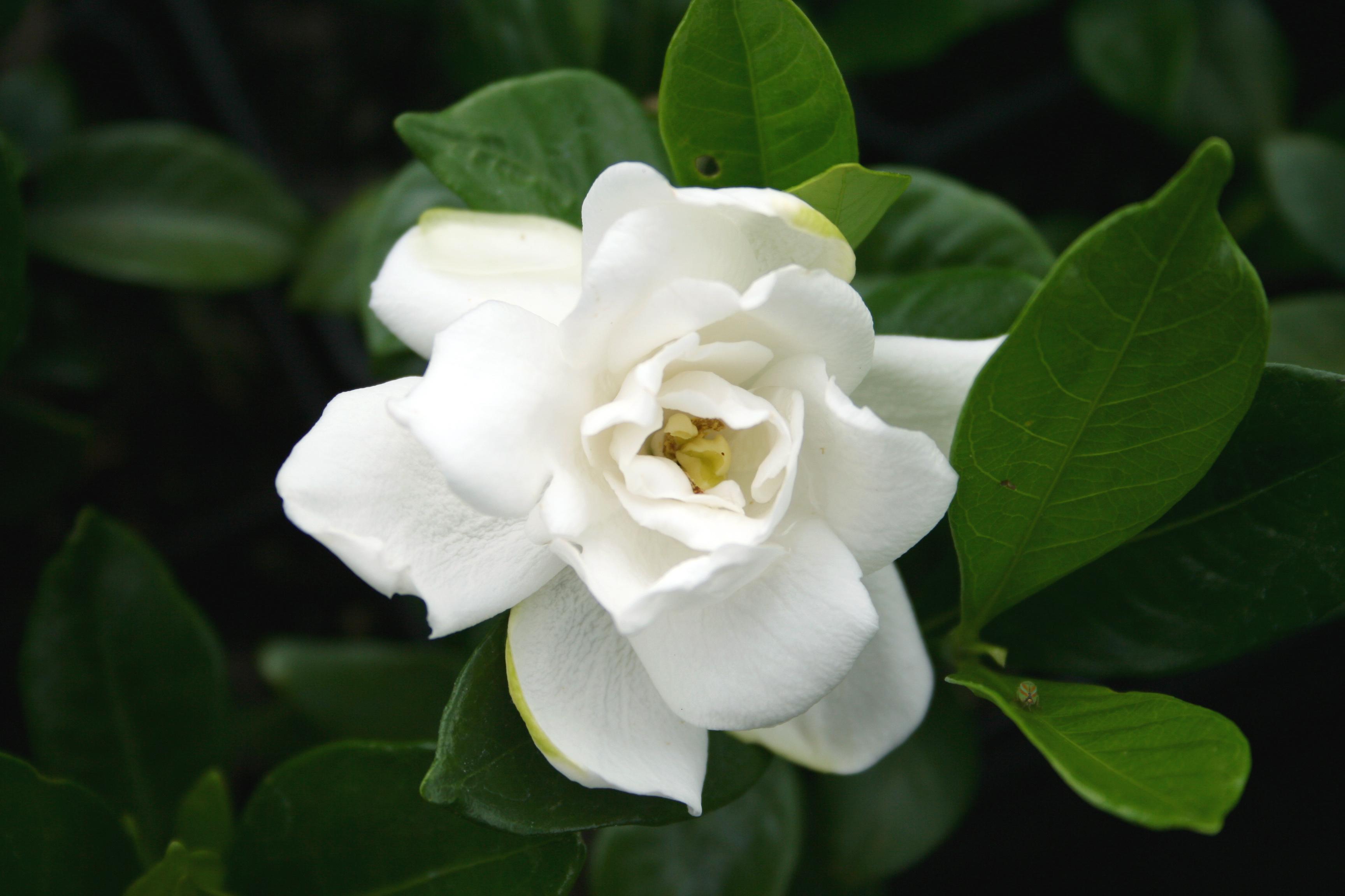 Baltas gardenijos žiedas