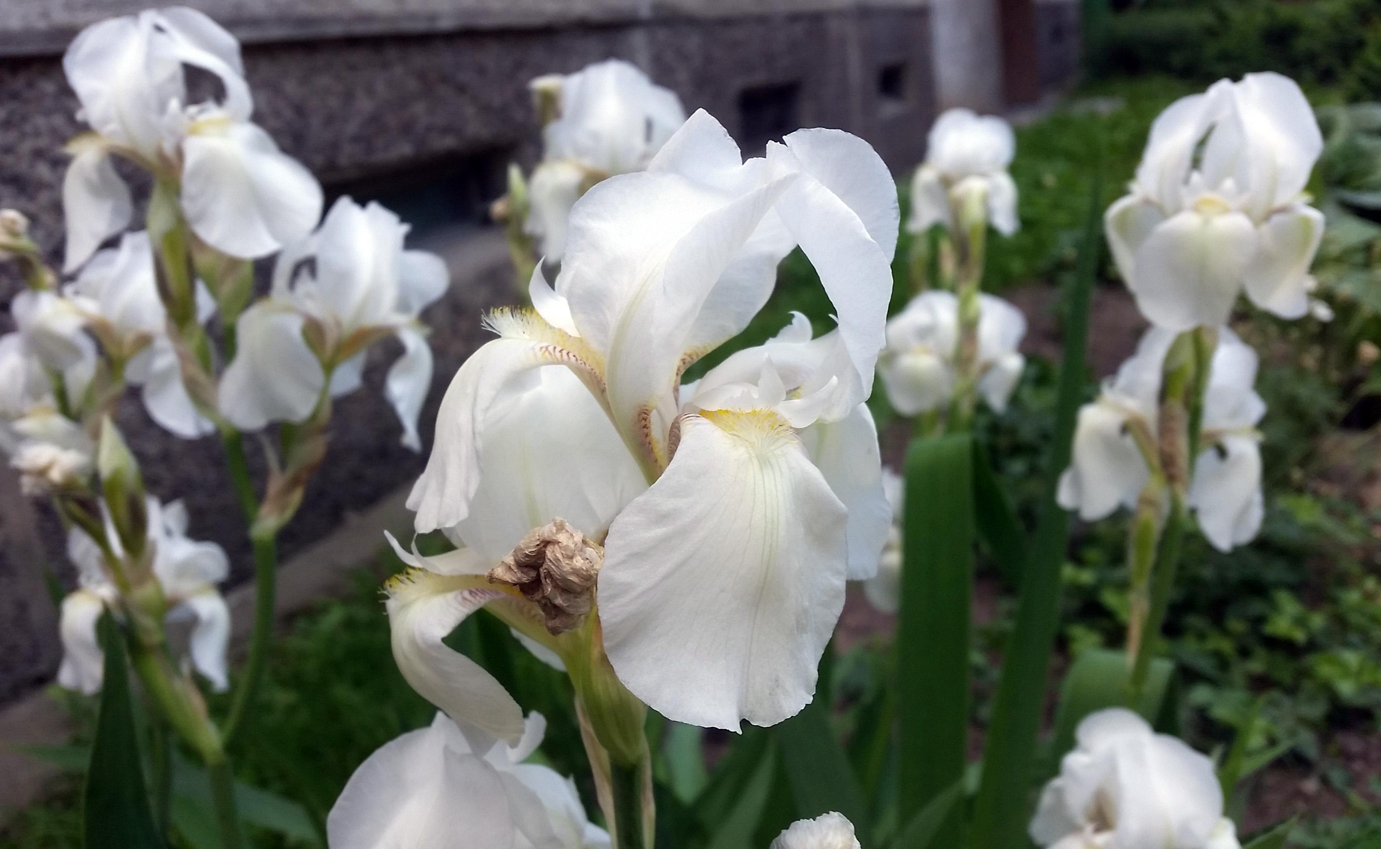Baltas irisas