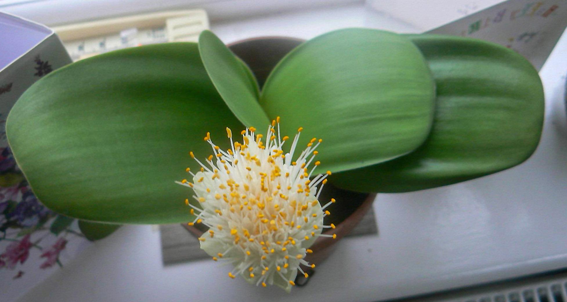 Baltažiedis raudminas (gėlė)