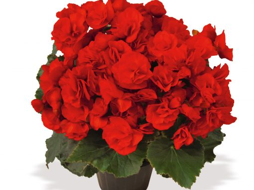Gėlės nuotrauka. (Pavadinimas: Begonija Elatior)