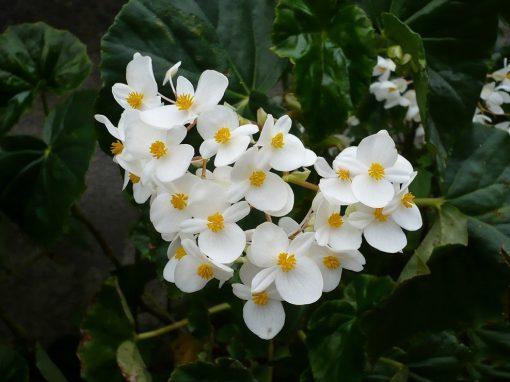 Gėlės nuotrauka. (Pavadinimas: Begonija minor)