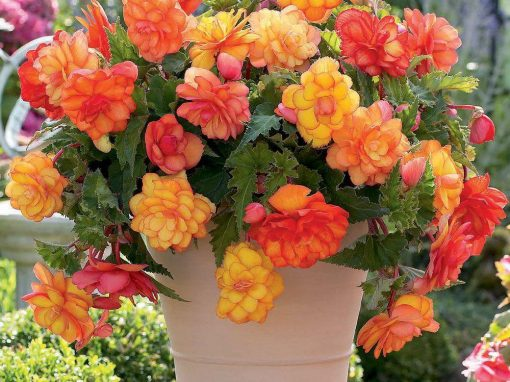 Gėlės nuotrauka. (Pavadinimas: Begonija)