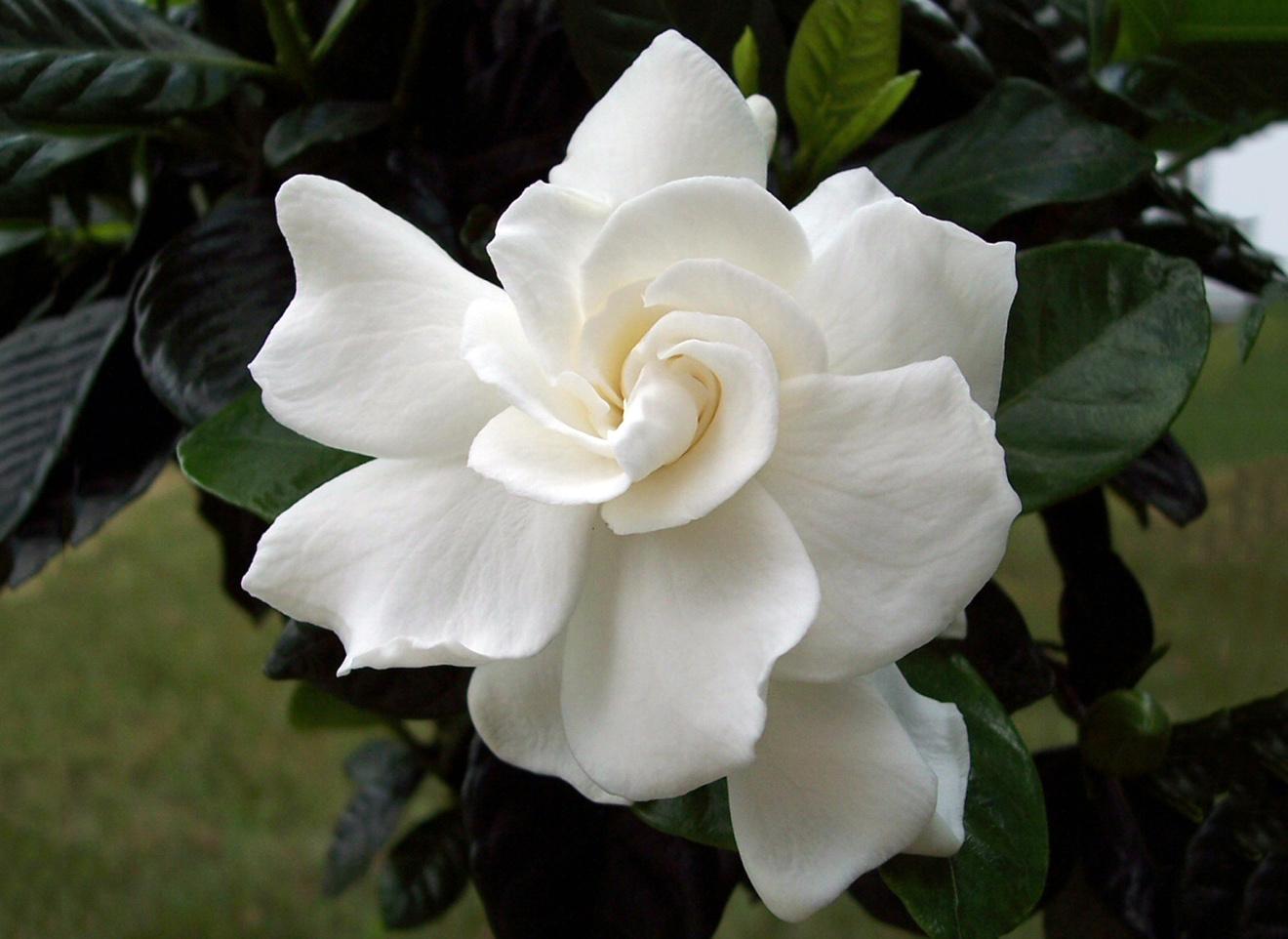 Besiskleidžiantis gardenijos žiedas iš arti
