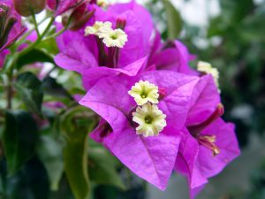Bougainvillea Gėlė