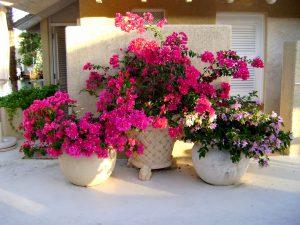 bugenvilija lauko gėlė (šiltesnėmis negu mūsų klimato sąlygomis)