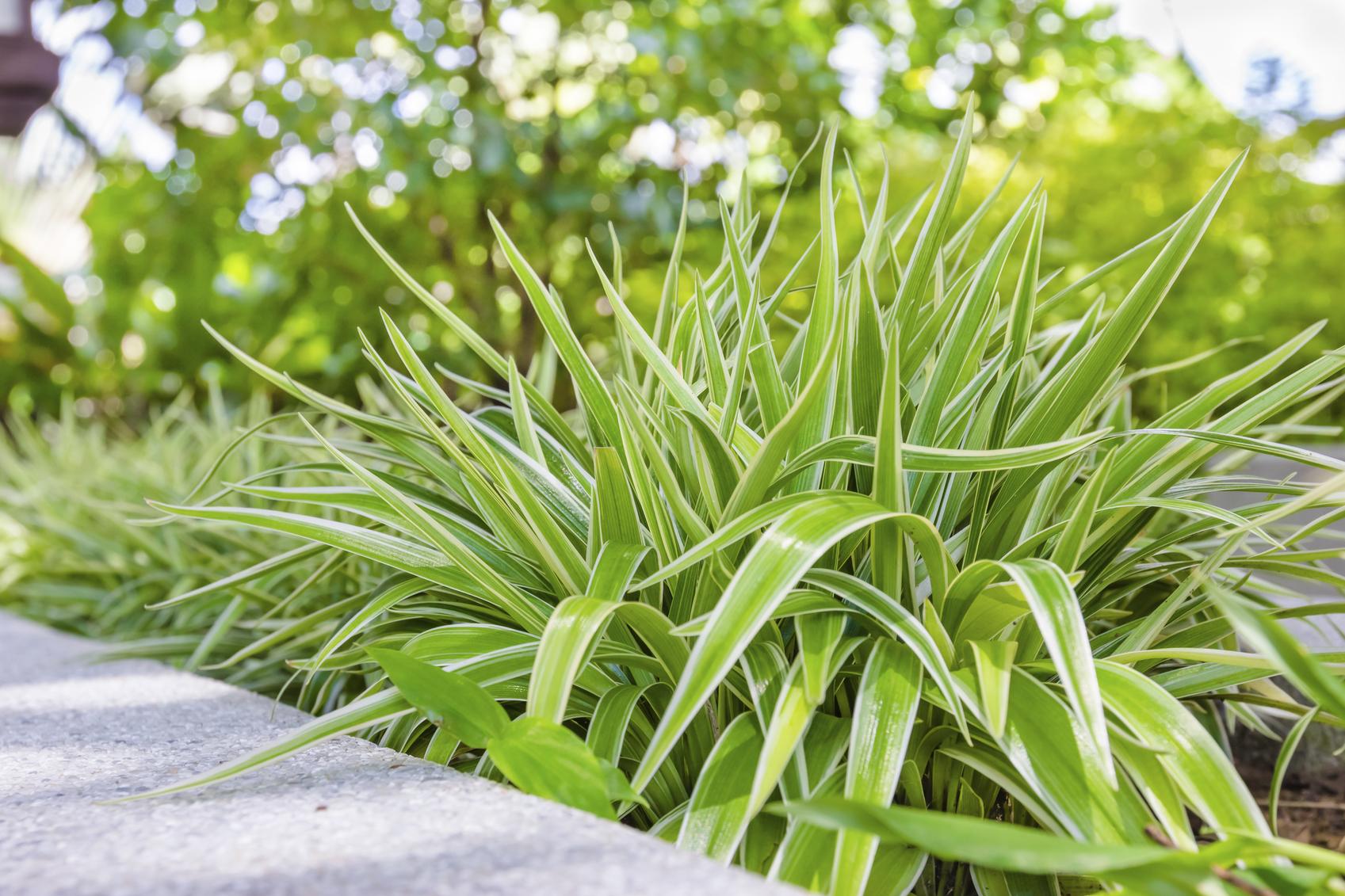 Chlorofitas (augalas)