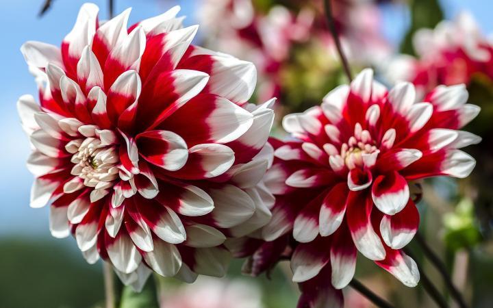 dahlias-red-white