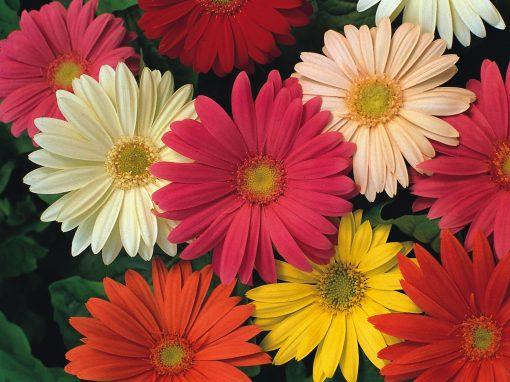 Gėlės nuotrauka. (Pavadinimas: Gerbera)
