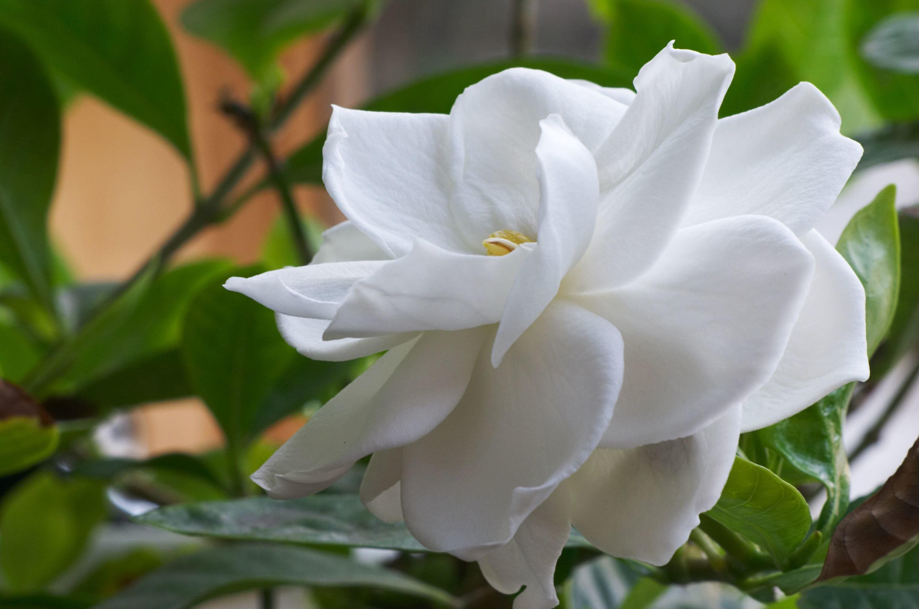 Dailus gardenijos žiedas iš arti