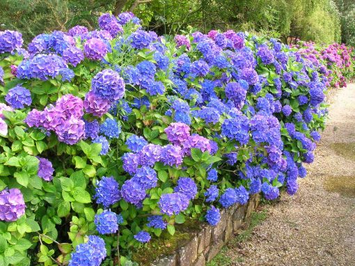 Gėlės nuotrauka. (Pavadinimas: Didžialapė hortenzija)