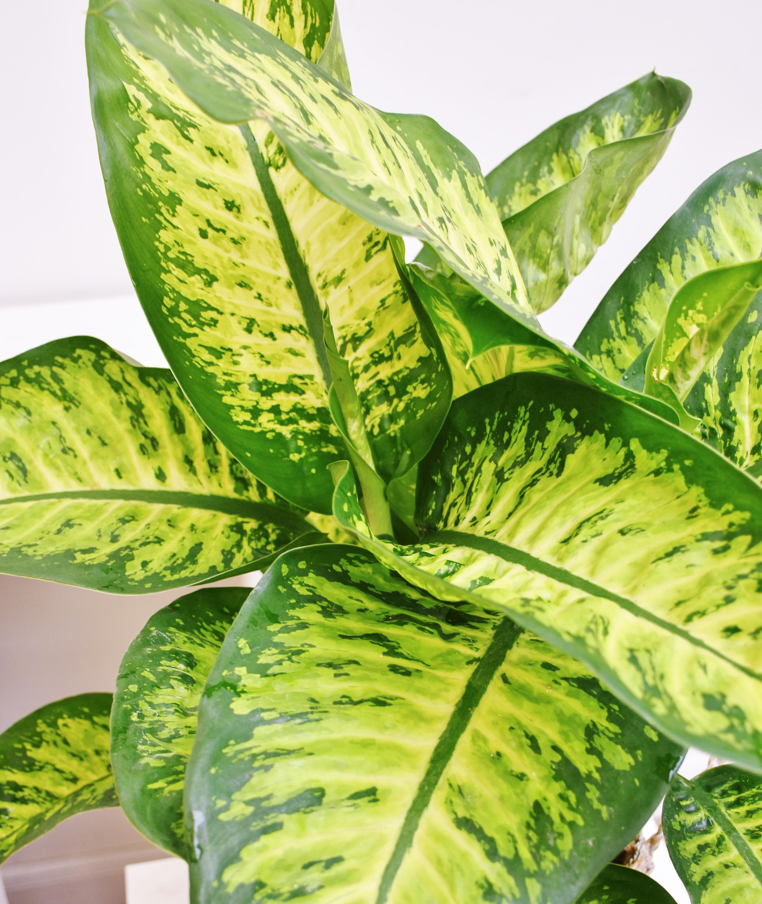 Difenbachija lemon tropic