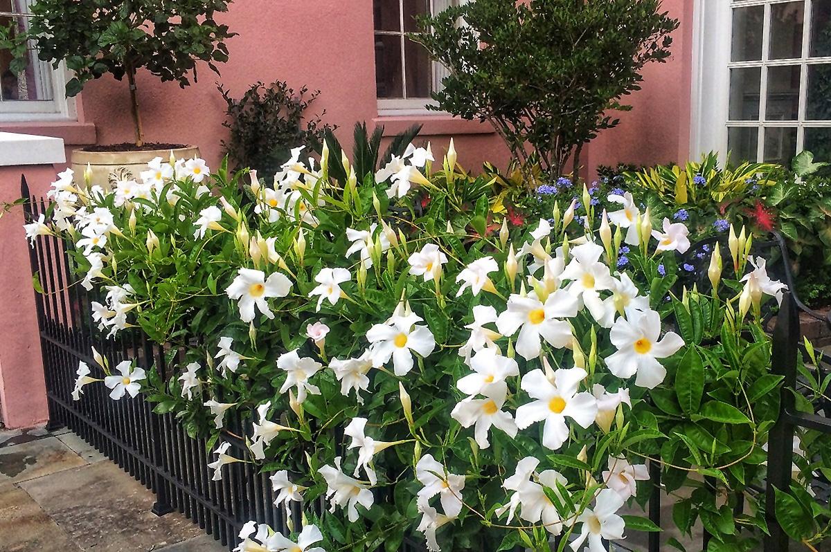 dipladenija vijoklinės žydinčios-gėles