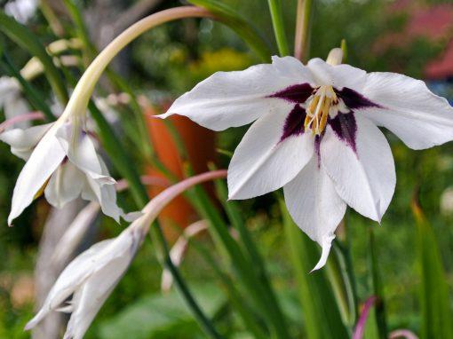 Gėlės nuotrauka. (Pavadinimas: Dvispalvis kardelis)
