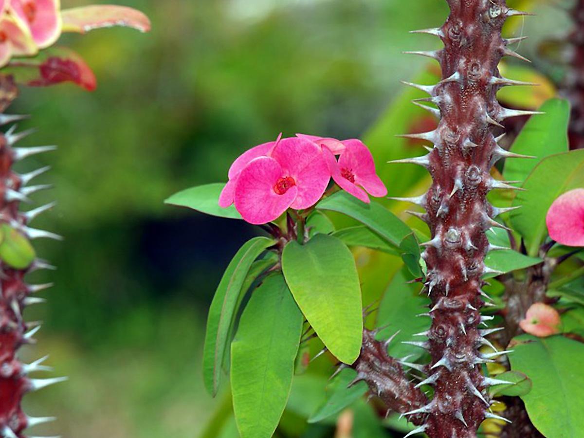Dygliuotoji karpažolė (Gėlė Kristaus ašara)
