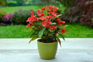 Dygliuotoji karpažolė vazone (auginimas)