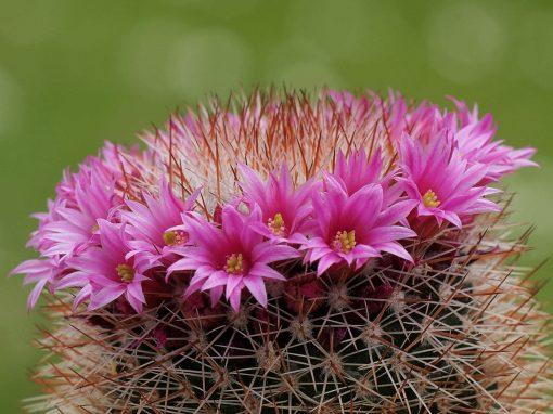 Gėlės nuotrauka. (Pavadinimas: Kaktusas mamiliarija)