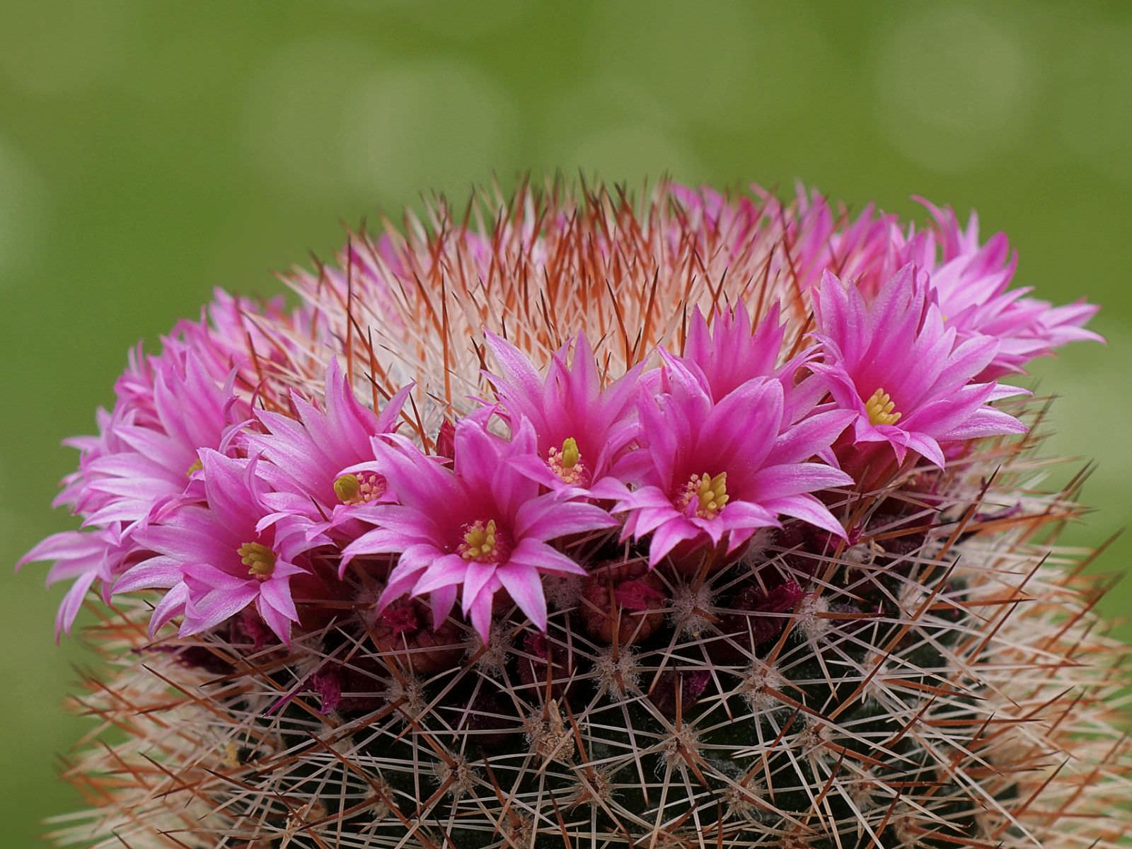 Kaktusas dygliuotoji mammillaria