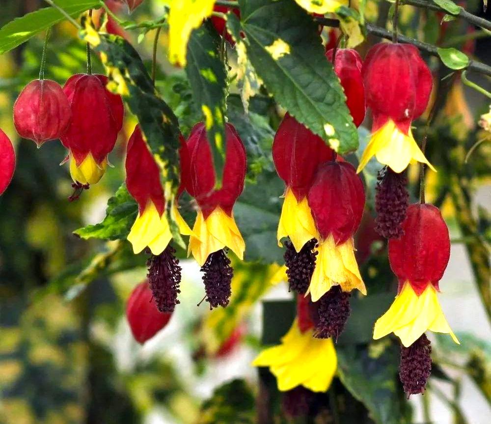 Gėlė Galenis (Abutilon megapotamicum)