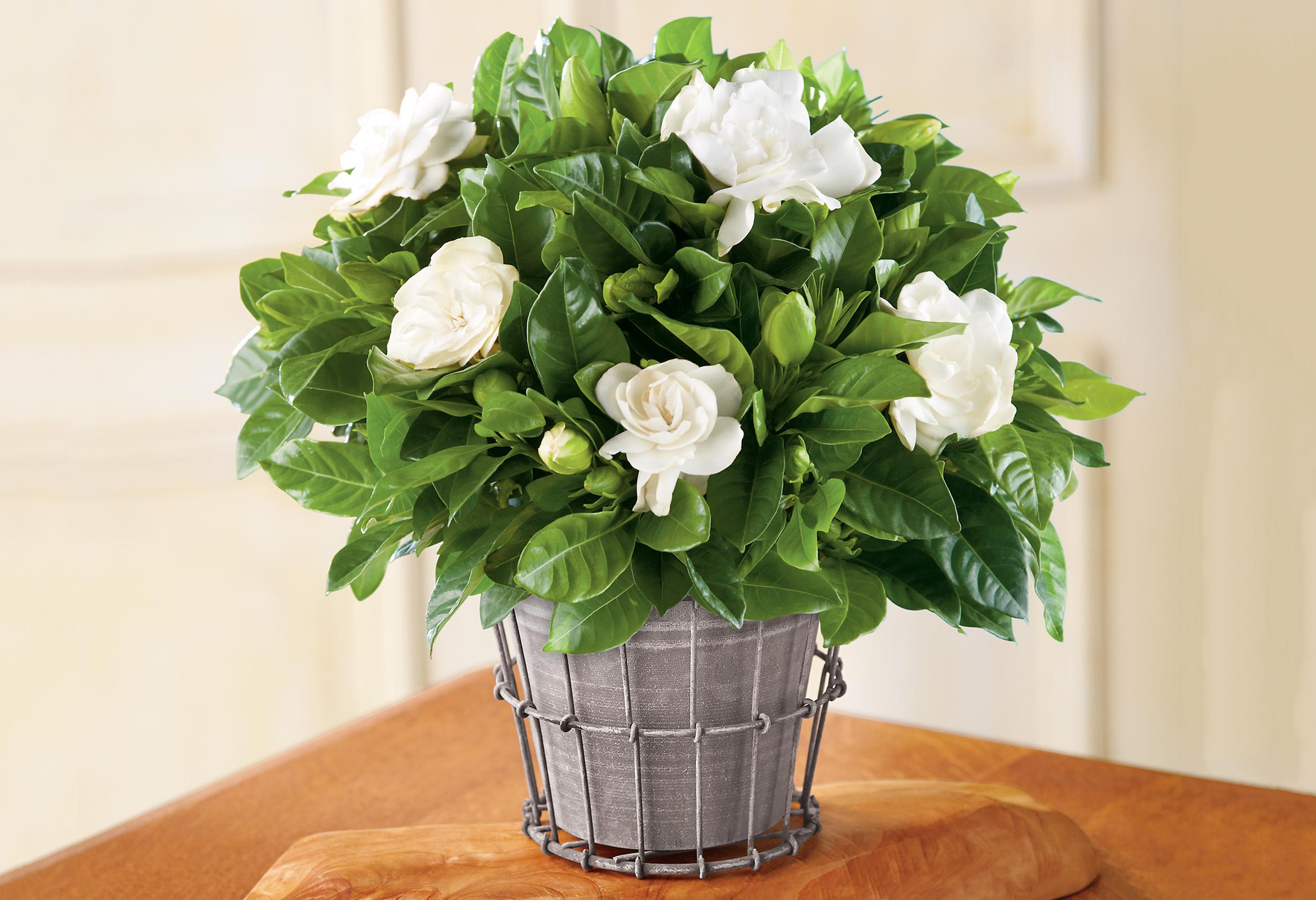 Gardenija baltais žiedais vazonėlyje