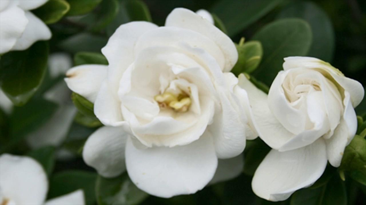 Gardenijos žiedas iš arti