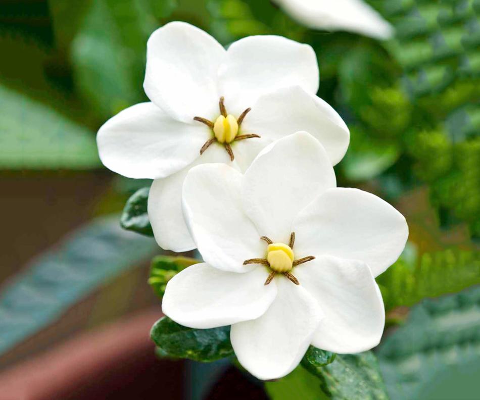 Baltai pražydusi gardenija