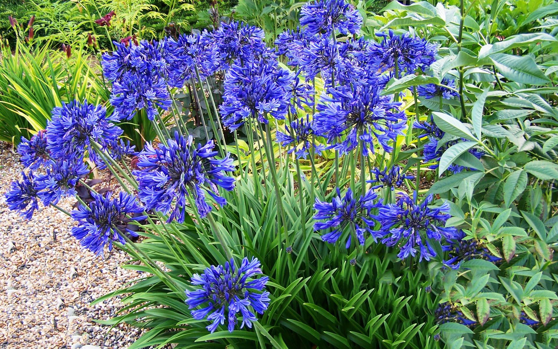 Садовые многолетние цветы синего цвета фото и