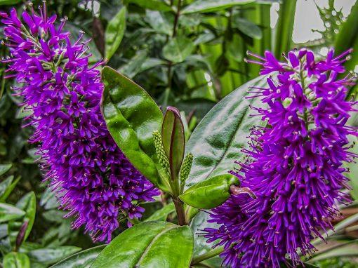 Gėlės nuotrauka. (Pavadinimas: Andersono hebė)