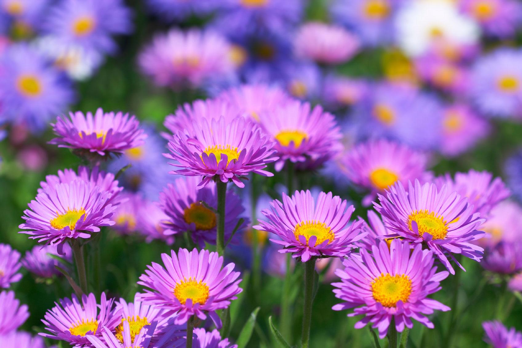 Gėlės nuotrauka. (Pavadinimas: Astras)