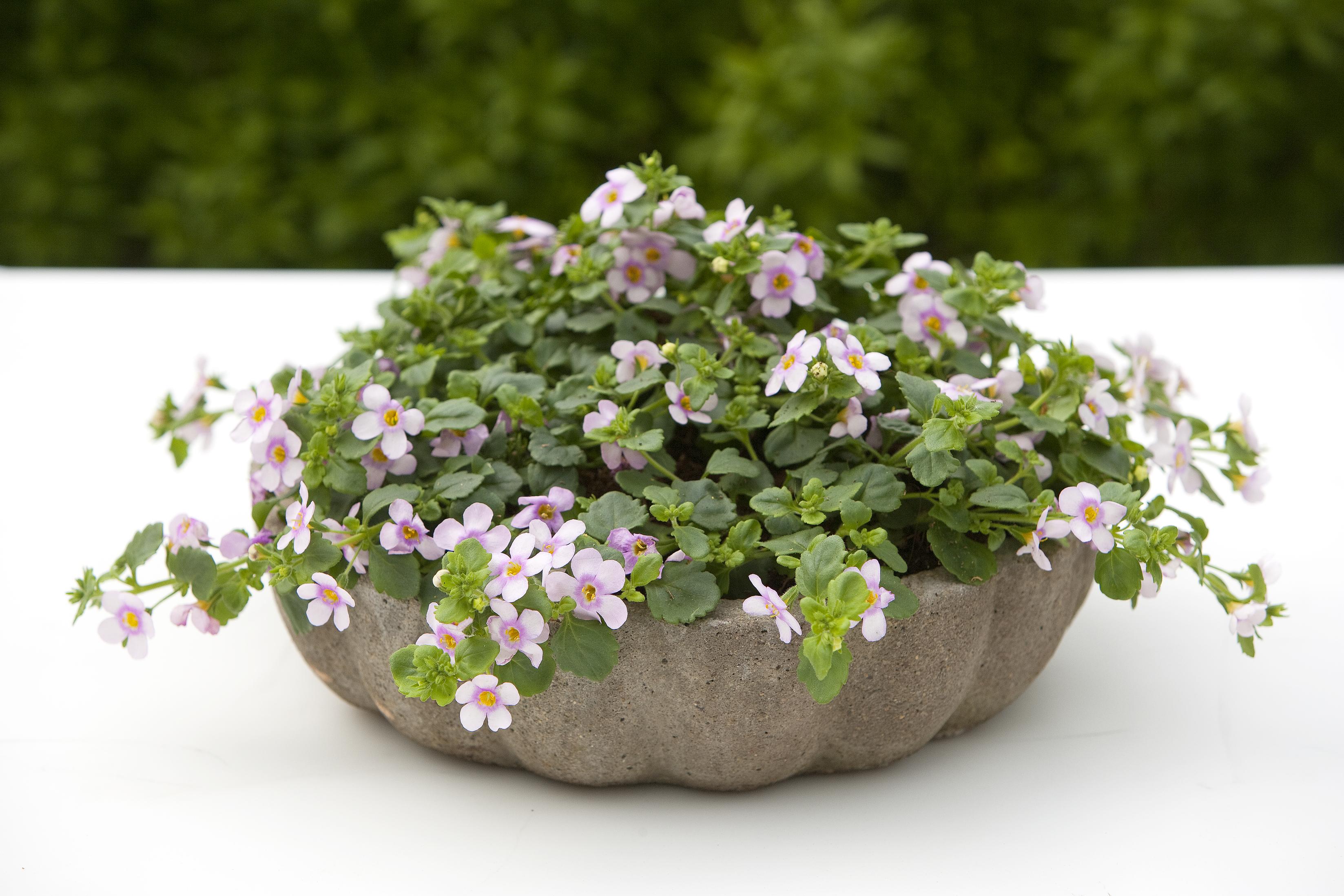Gėlė Bakopa
