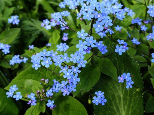 Gėlės nuotrauka. (Pavadinimas: Brunera)