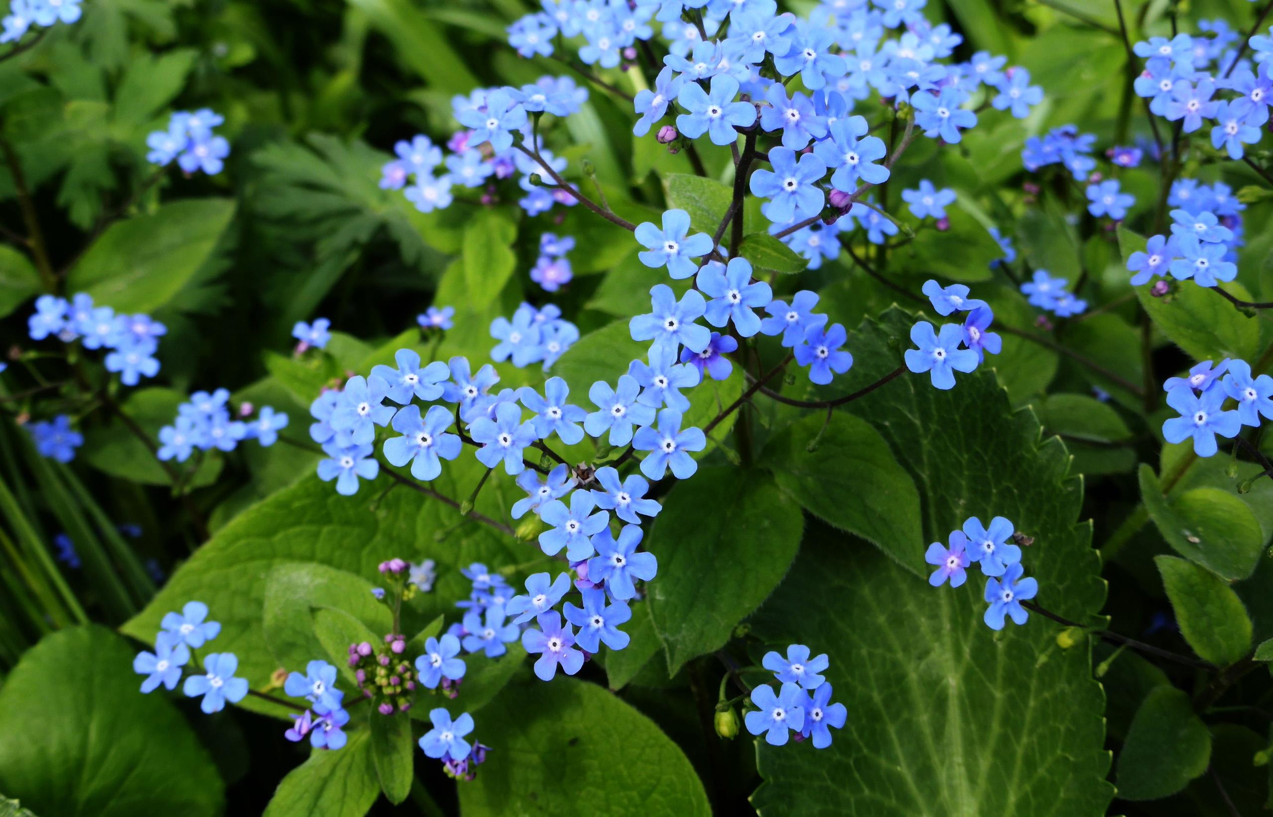 Gėlė Brunera