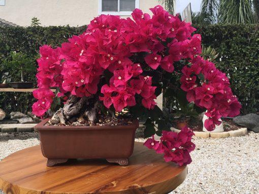 Gėlės nuotrauka. (Pavadinimas: Bugenvilija)