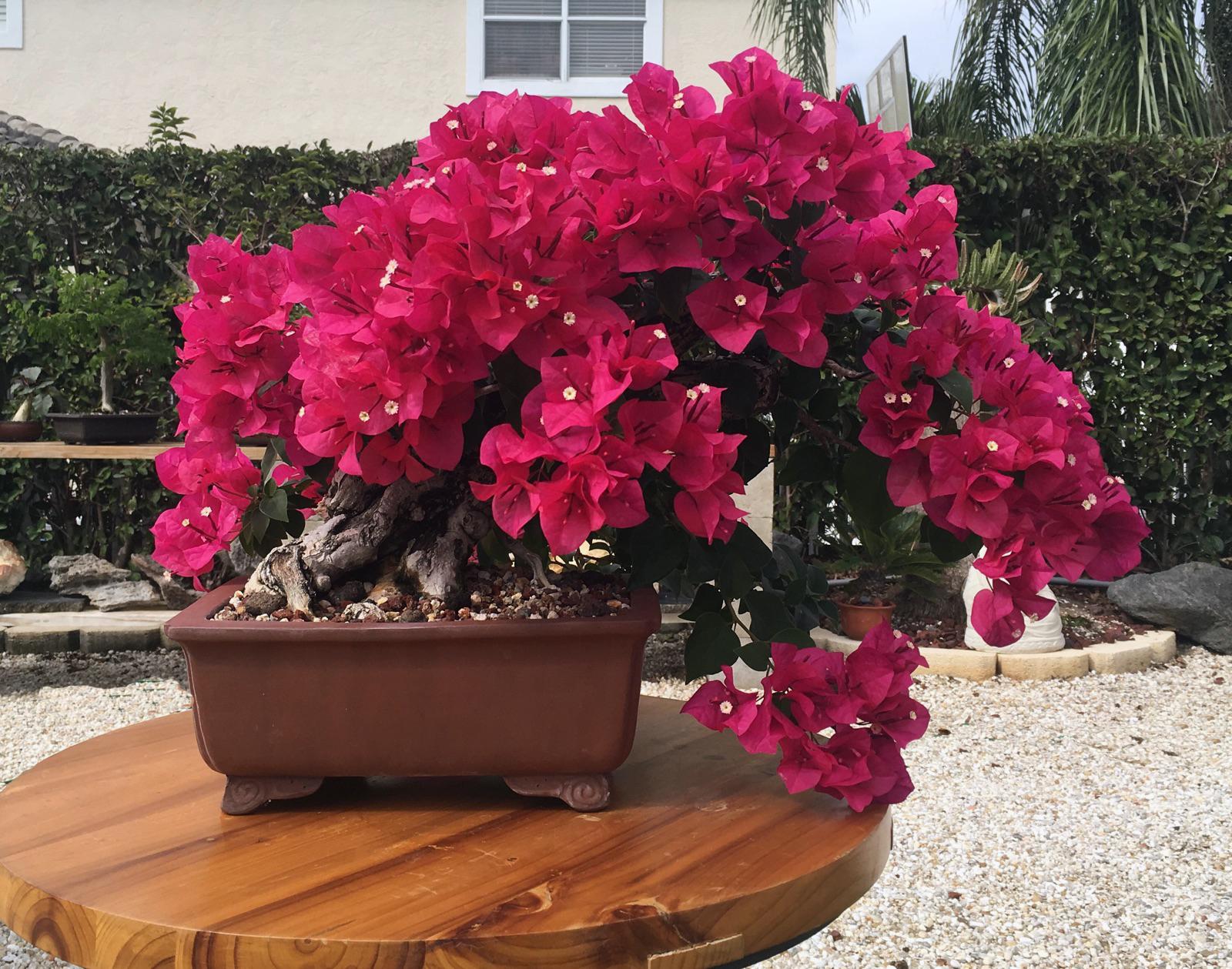 Gėlė Bugenvilija