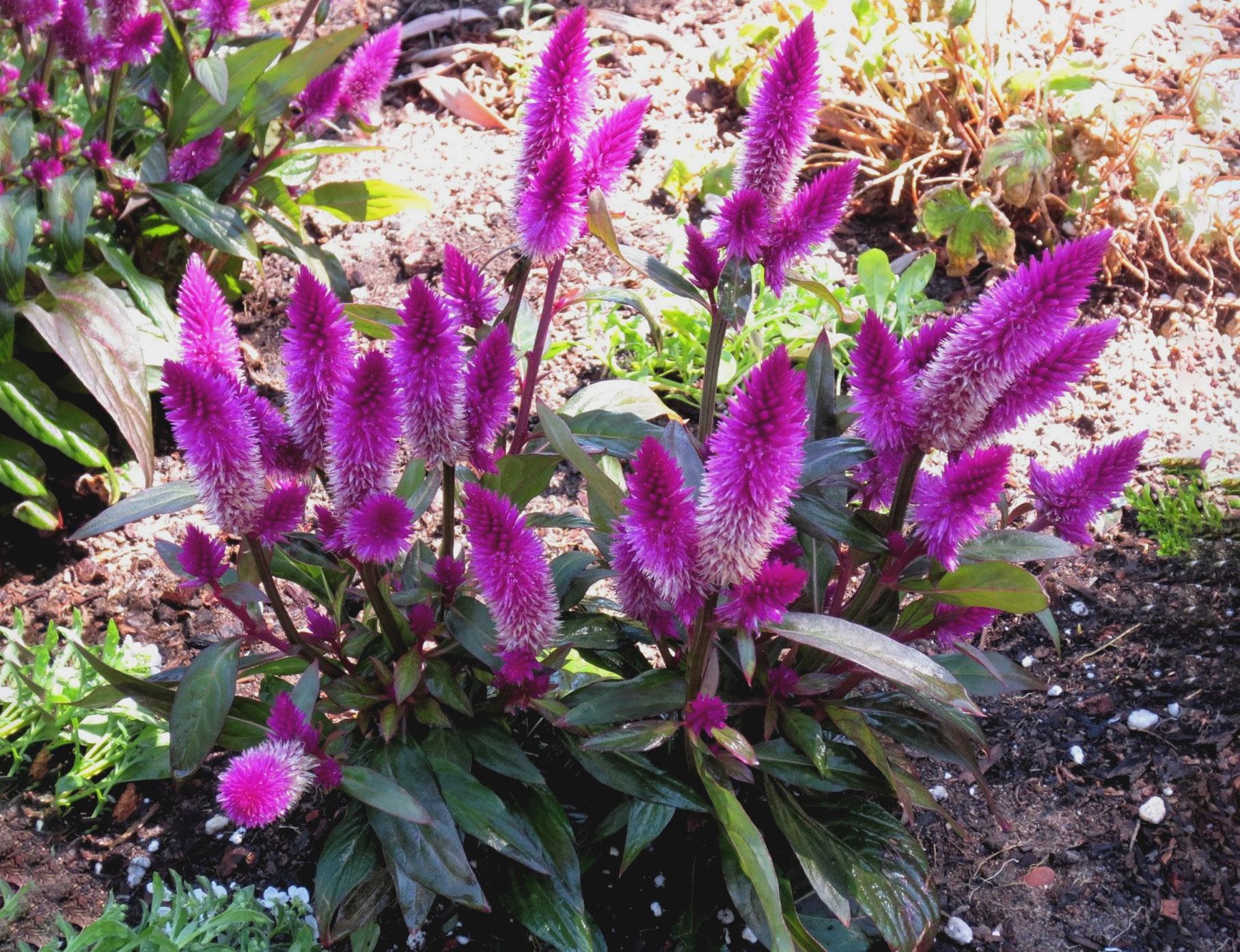 Gėlė celiozija (nuotrauka)