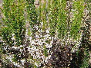 Gėlė Erika (Erica arborea)