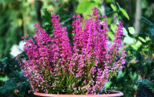 Gėlė Erika grakščioji (Erica gracilis)