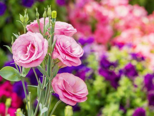 Gėlės nuotrauka. (Pavadinimas: Eustoma)
