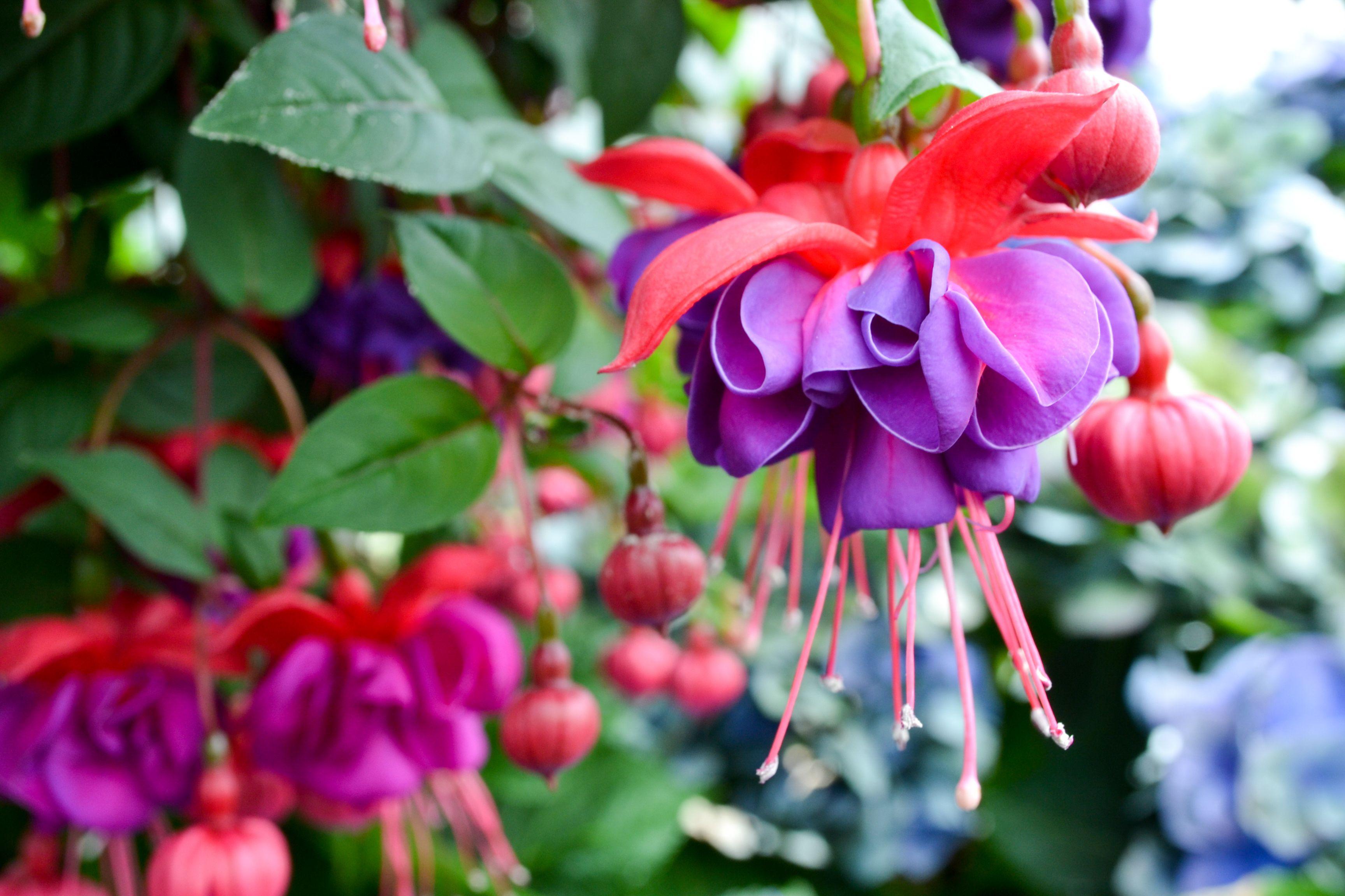 Gėlė Fuksija (Fuchsia)