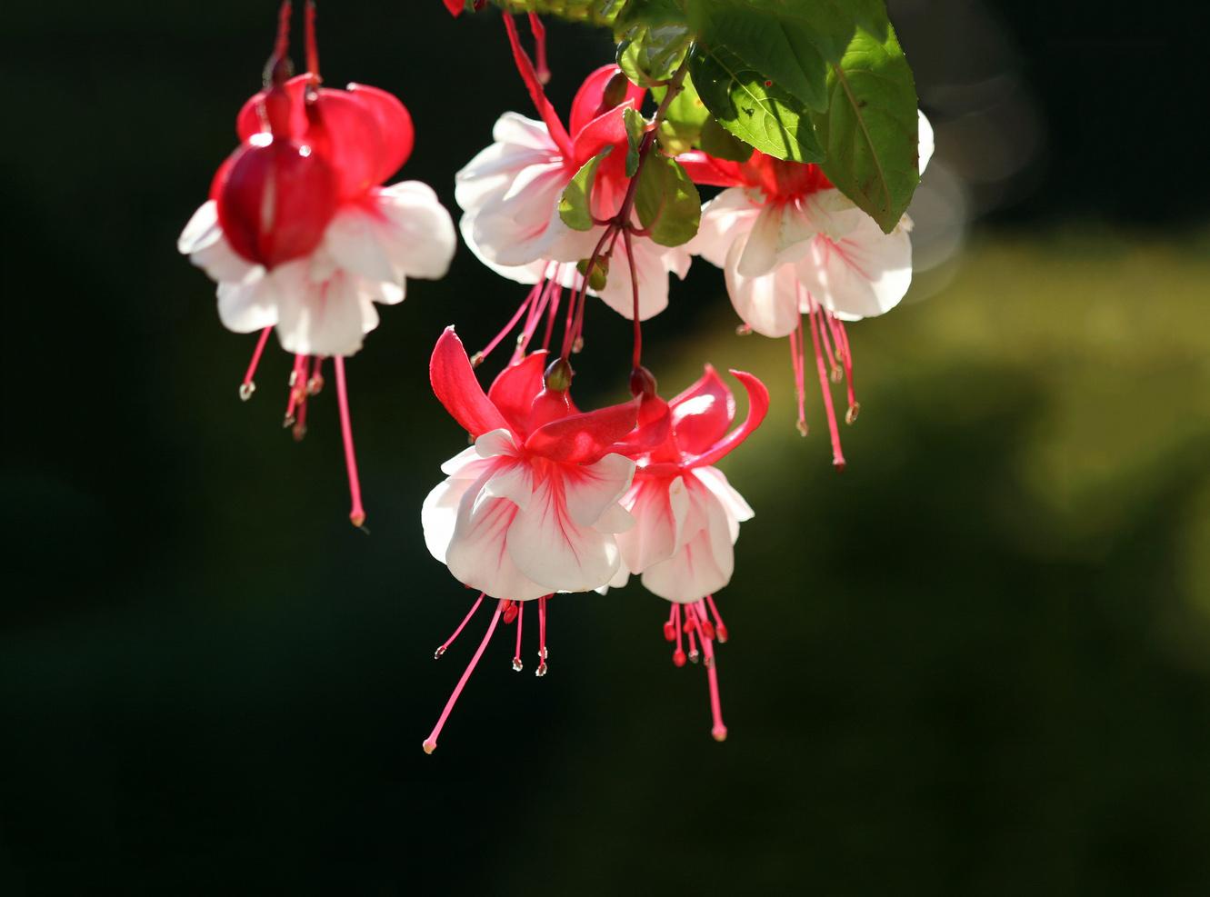 Gėlė fuksija - swingtime