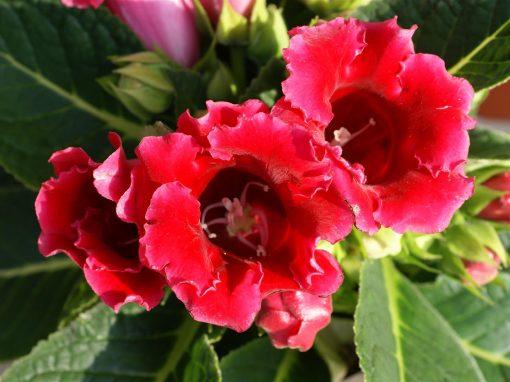 Gėlės nuotrauka. (Pavadinimas: Gloksinija)
