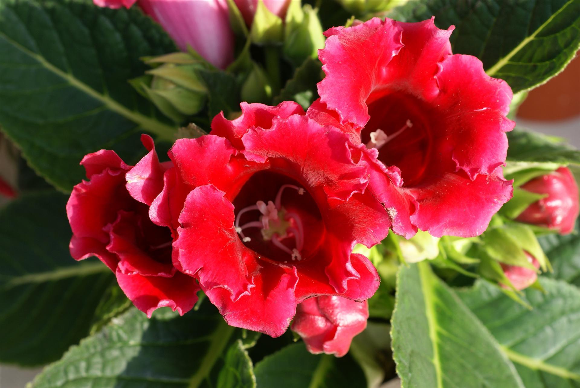 Gėlė Gloksinija