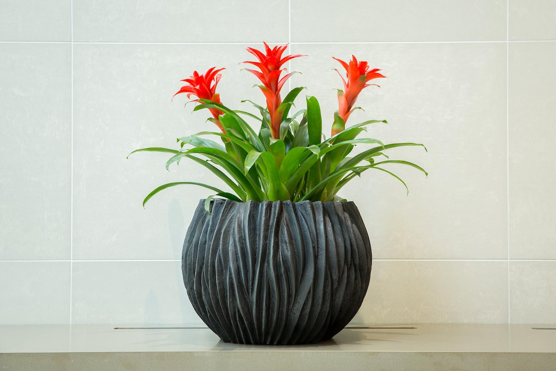 Gėlė Guzmanija