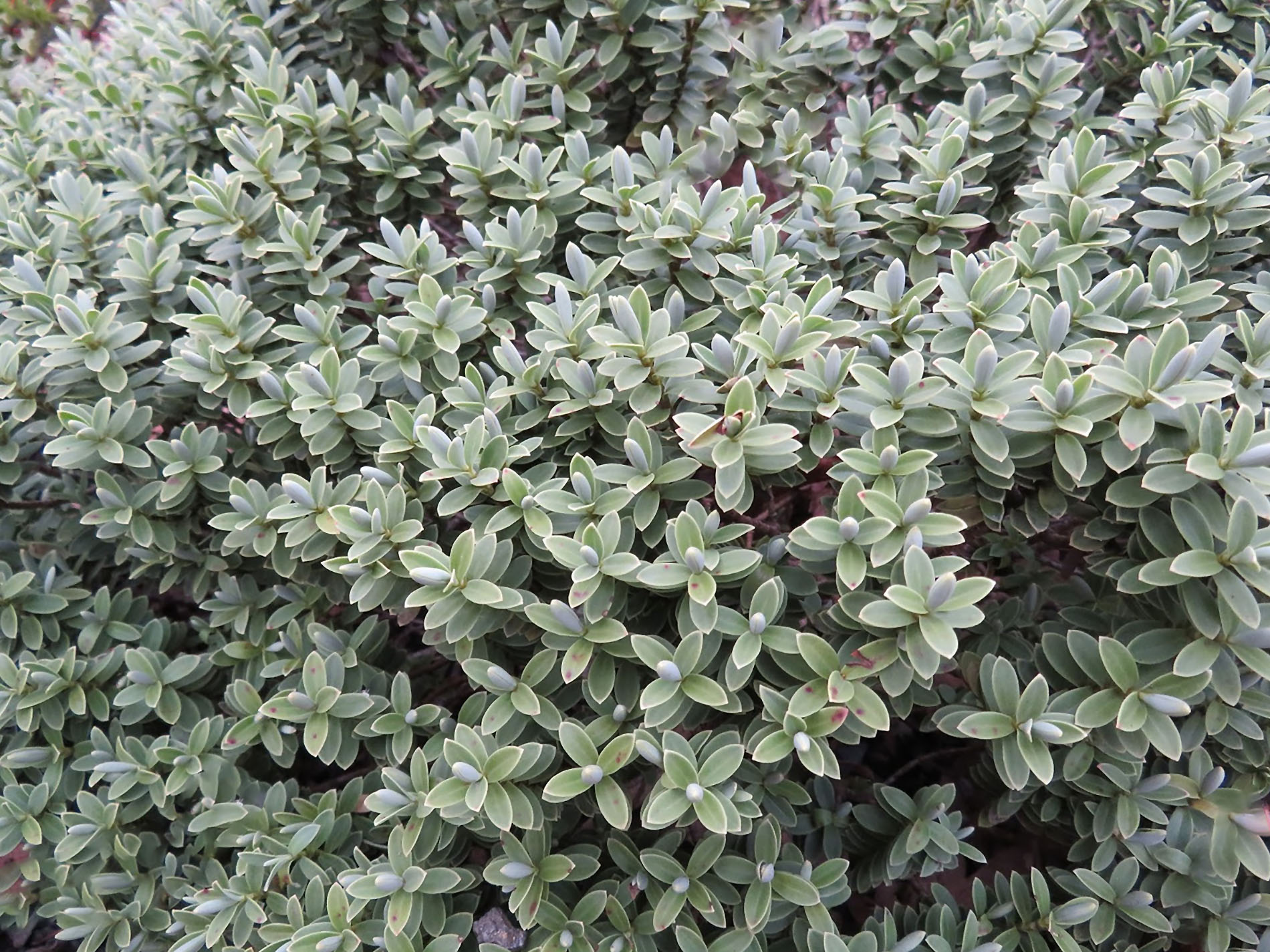 Gėlė Hebė (Storalapė) pinguifolia